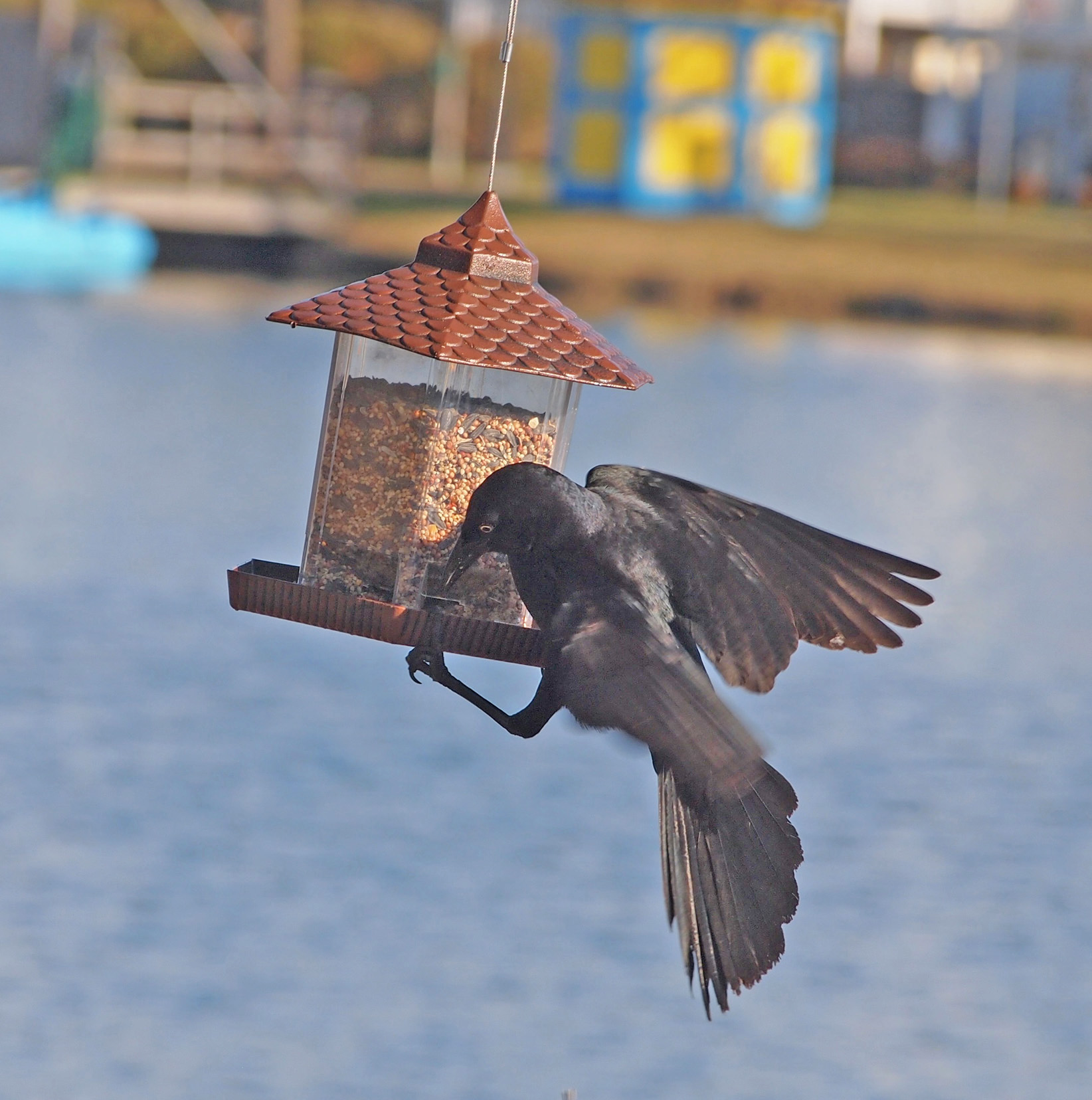 Male Boat-tailed Grackle attempting to use a bird feeder ...  Male Boat-taile...