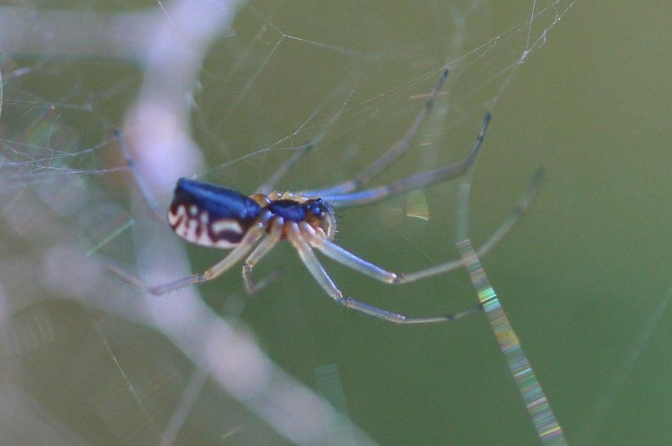 Tiny orb weaver (Micrathena mitrata) Bowl-and-doily Spider Bowl And Doily Weaver Spider