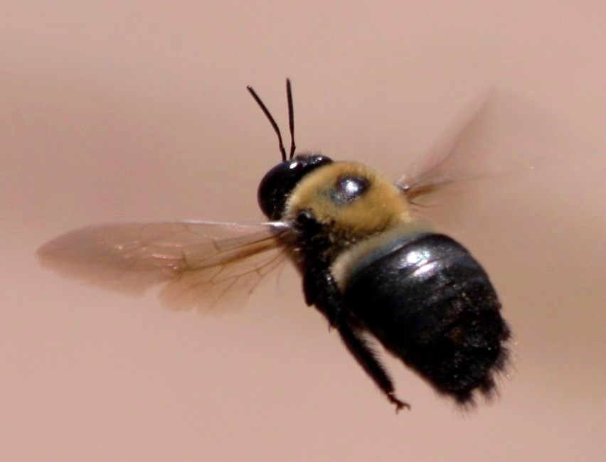 Carpenter bees - photo#20