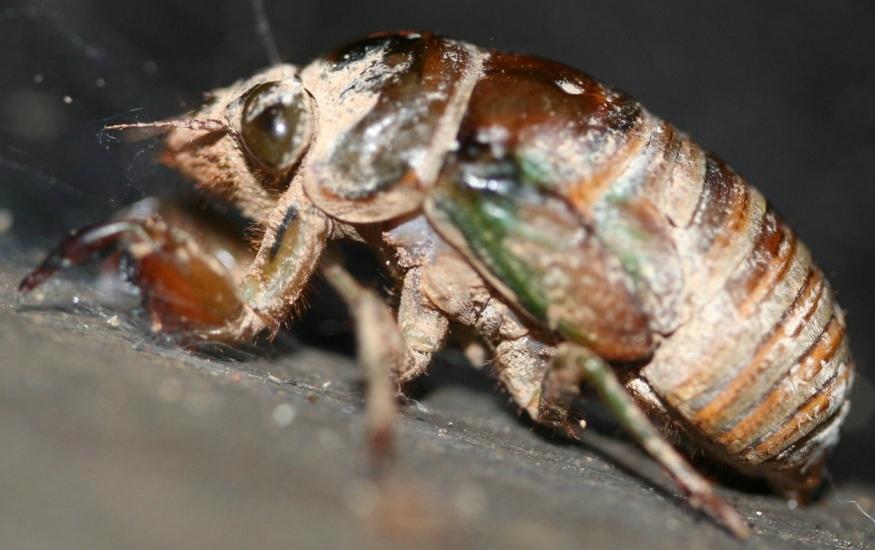 cicada nymph - photo #40