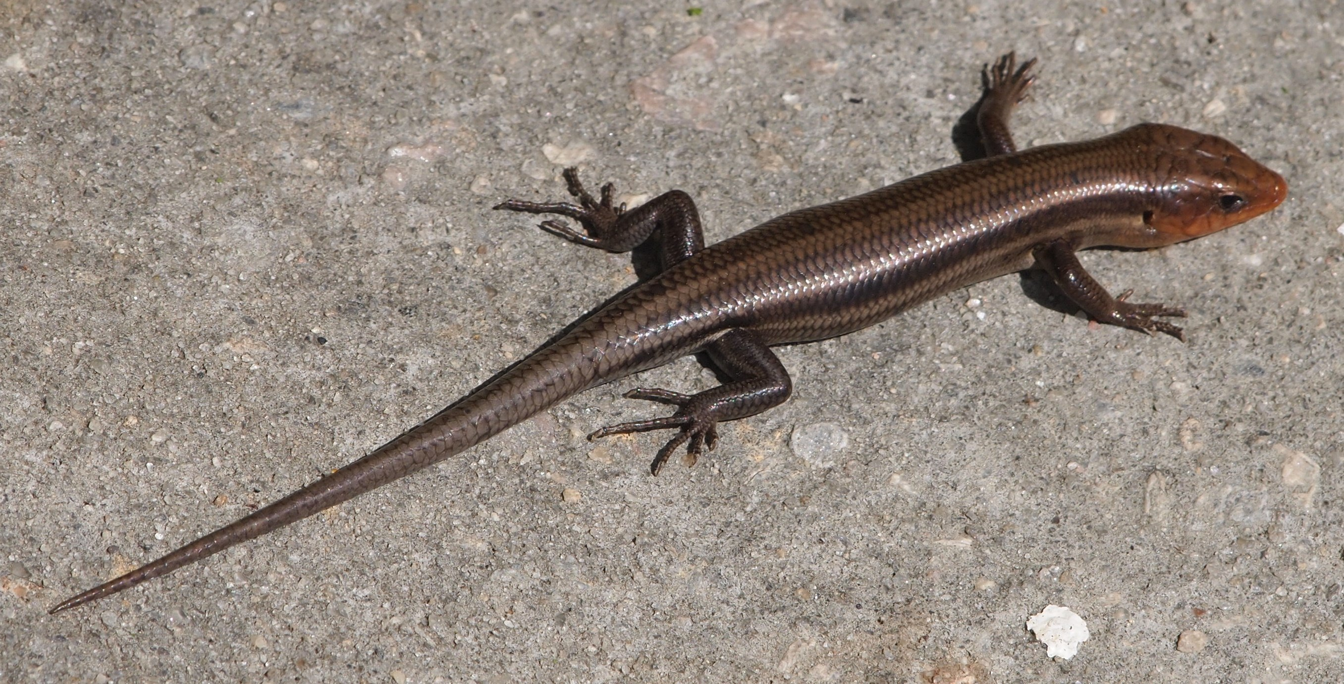 Common Five-lined Skink (Eumeces inexpectatus, family Scincidae ...