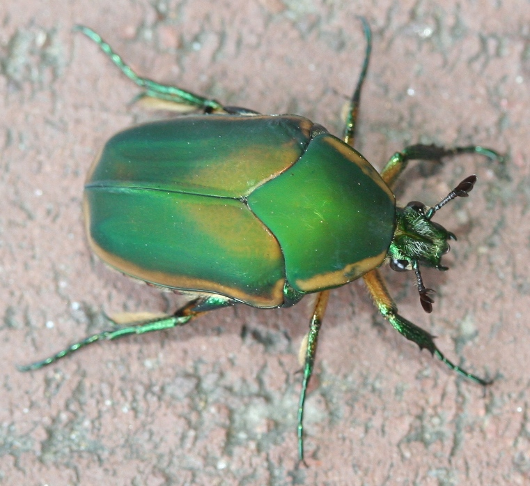 june bug Best answer: june bug is common throughout late spring and summer months a nocturnal insect, the beetle is active at.