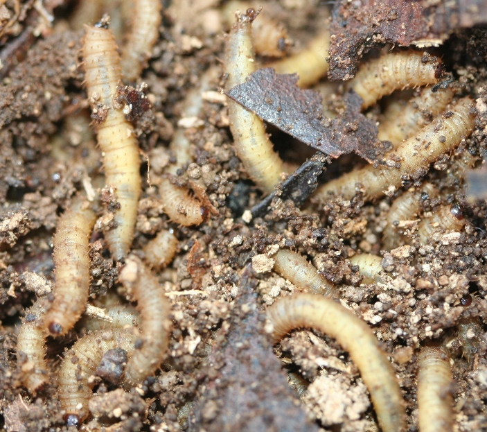 Whats a termite look like