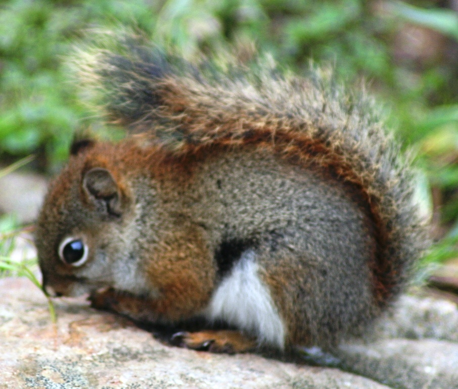 free downloading videos of red squirrel youtube