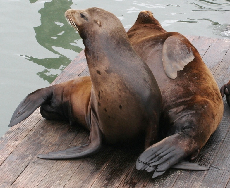 Sea lions mating - photo#17