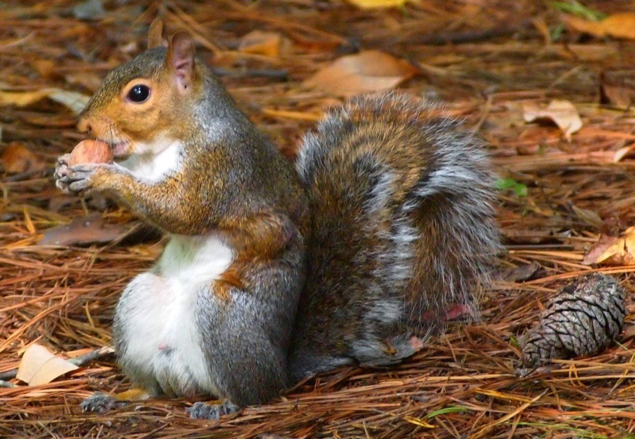 Eastern Gray Squirrel (Spermophilus carolinensis, subfamily Sciurinae ...