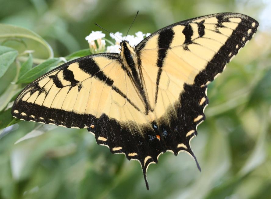Spicebush Swallowtail Butterfly Caterpillar