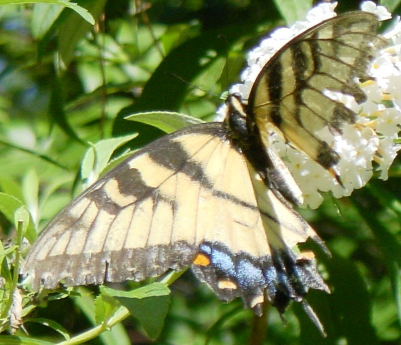 Male and female tiger swallowtail identification for Jade garden leland nc