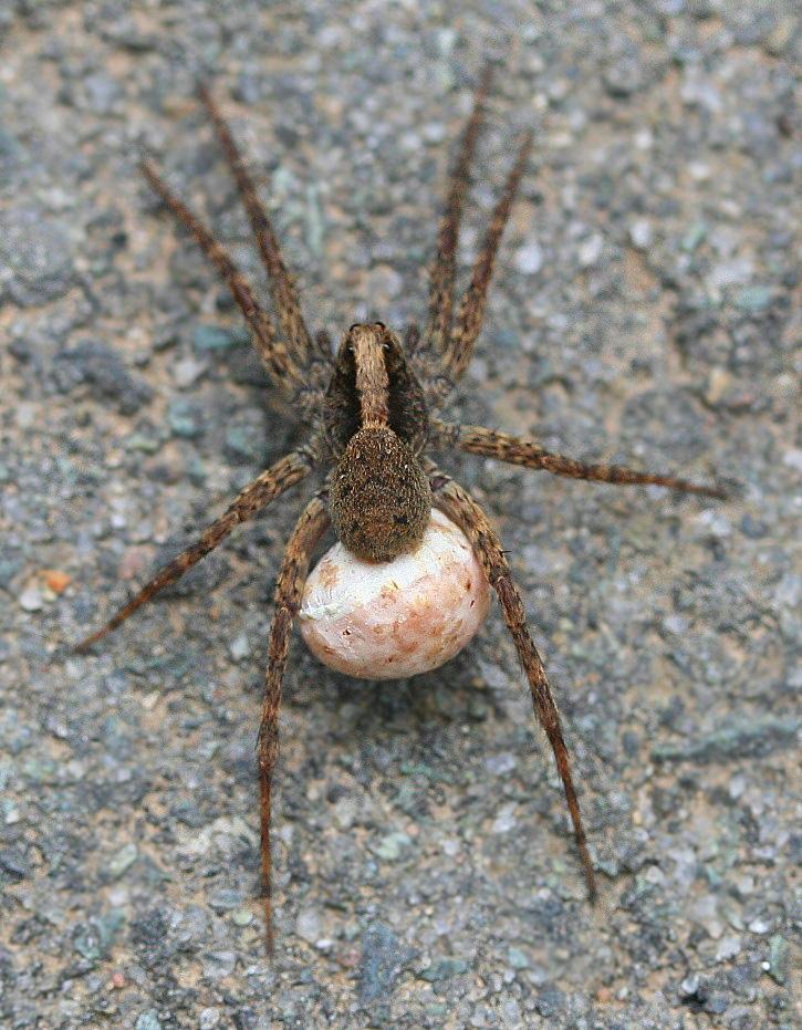 April 2012 photos for Garden spider egg sac
