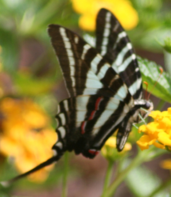 http://www.dpughphoto.com/images/zebra%20swallowtail%202%20durham%2070505.JPG