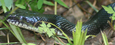 picture of king snake eastern north carolina